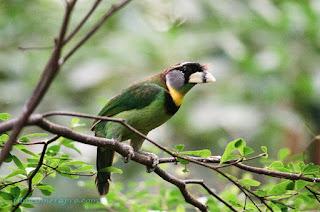 Sulawesi Bird
