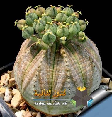 ايوفوربيا أوبيسا (Euphorbia Obesa)