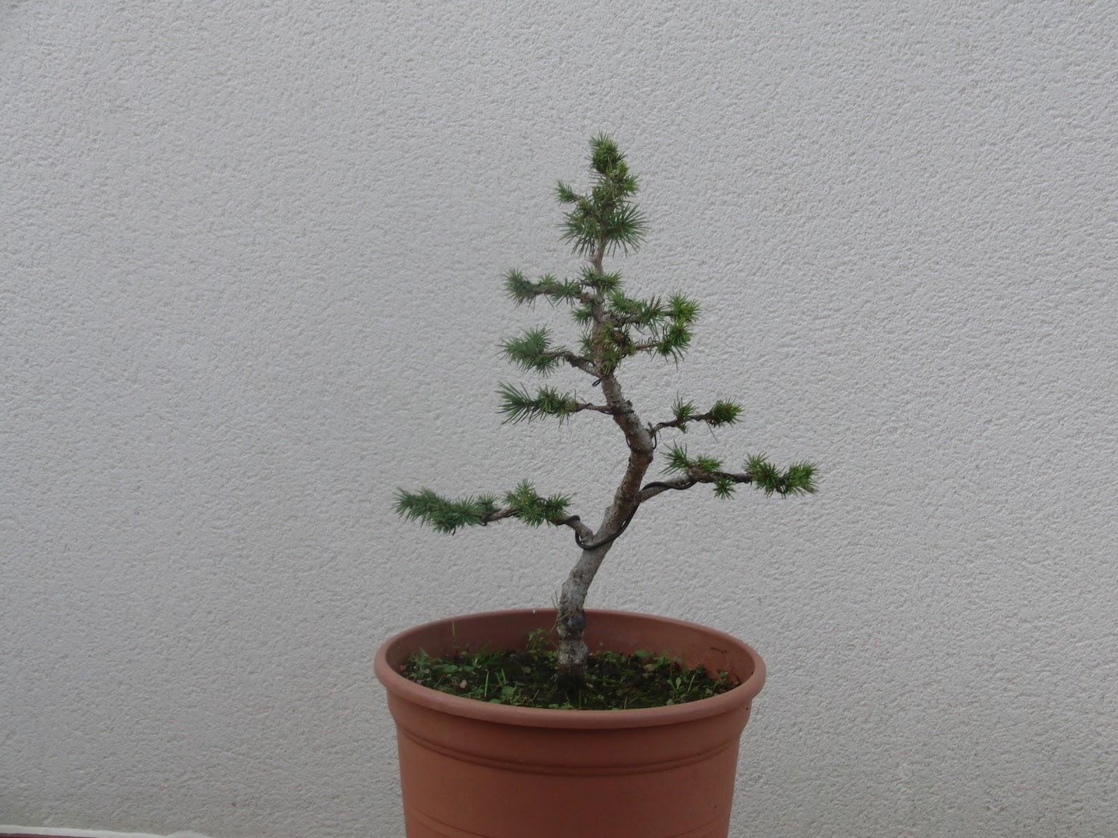 Jardin del bonsai picea for Como disenar un vivero