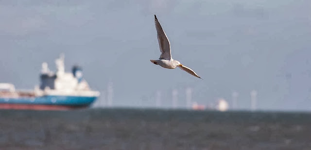 Herring gull flying over ships and wind turbines in Margate, UK