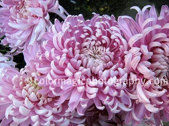 Pink Chrysanthemums-closeup