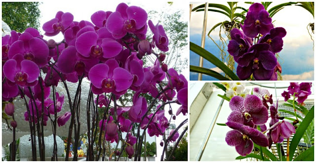 purple-orchids