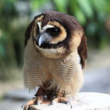Foto Burung Hantu Kokok Beluk