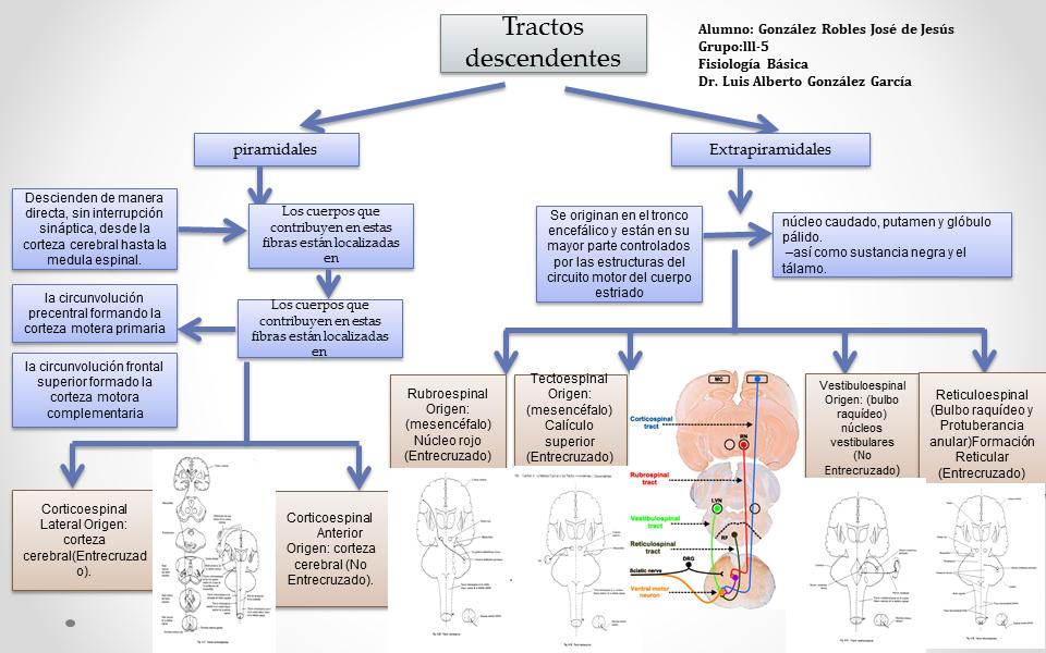 Fisiología Básica : Tractos Descendentes, Arco Reflejo y Neurona Motora.