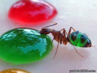 Unik - Perut Semut Bisa Berubah Warna-warni
