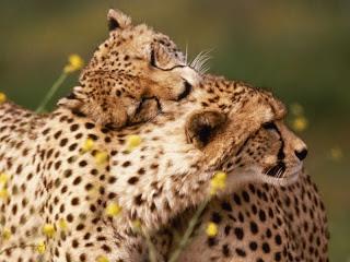 ملف كامل عن اجمل واروع الصور للحيوانات  المفترسة   حيوانات الغابة  11