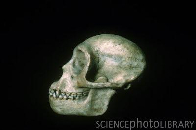 Propliopithecus skull