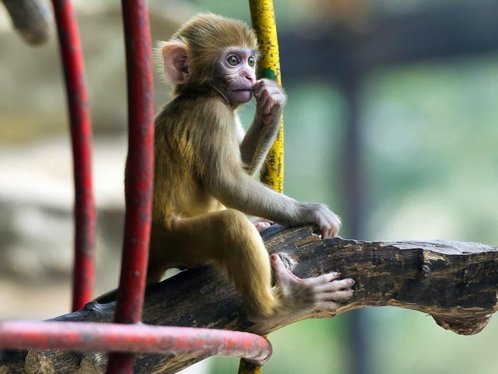 "<img src=""http://1.bp.blogspot.com/-FBOY_xwah_U/UtkPQxpT4GI/AAAAAAAAIdo/6xP3NidBIXM/s1600/animal-wallpapers-primates-monkey.jpeg"" alt=""monkey"" />"