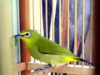 Cara Merawat Burung Pleci Agar Cepat Bunyi/ Gacor
