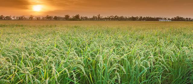 arrozales delta ebro