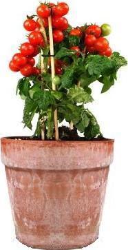 Cosas que no salen en la tele cherrys de maceta - Tomates cherry en maceta ...