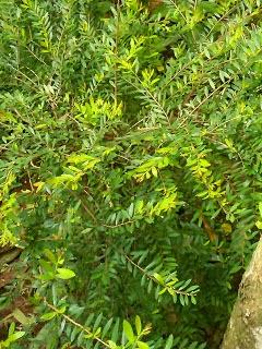 Jual pohon cendrawasih (phyllanthus) | suplier tanaman | tanaman hias | jasa desain taman