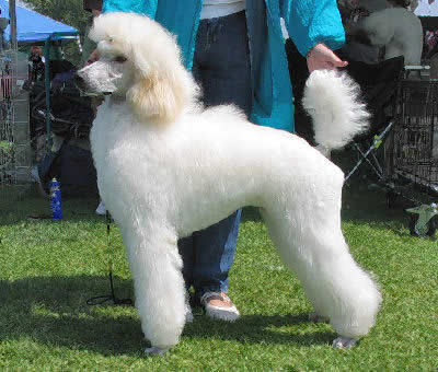 Most Popular Dog Breeds In The World Poodle