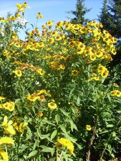Ma plan te jardin les heleniums des vivaces aux couleurs , Fleur jaune  grande tige .