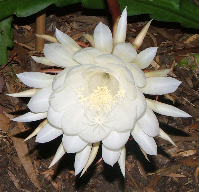 White wolf very rare and beautiful white flowers wijayakusuma flower also called moon flower grows in the highlands of papua in indonesiais is a very special flower that blooms only one night out of a mightylinksfo