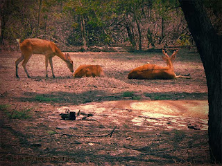Swamp Deer Family with Stag Barasingha sitting