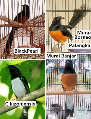 dunia burung jenis murai batu