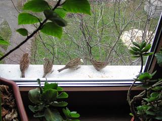 воробьи, воробьи на подоконнике, птицы на подоконнике, птицы клюют хлеб, стая воробьев, воробьиная стая
