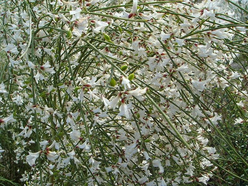 Extremamente sementes de portugal: Vassoura véu de noiva UH41