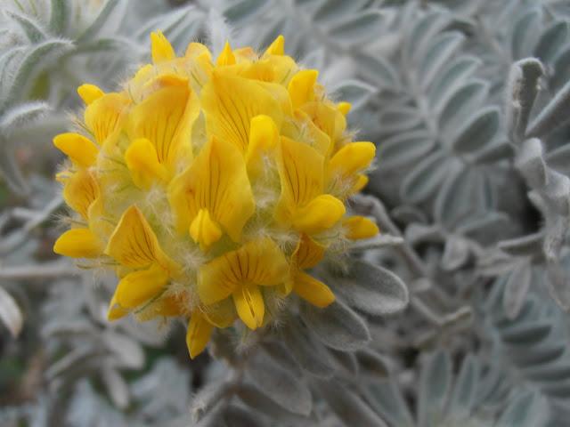 VULNERARIA AMARILLA: Anthyllis tejedensis