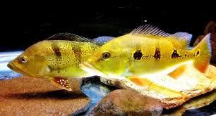 Gambar Ikan Orinoco
