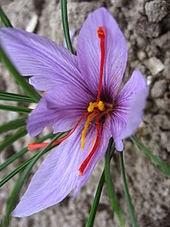 サフランの花 (赤いめしべ)にはPAK遮断剤<br>「クロセティン配糖体」が含れている!