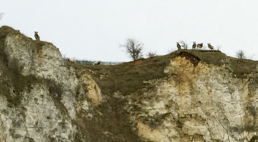 View from inside the quarry on Riddlesdown, with Jacob sheep on the skyline.  26 December 2014.