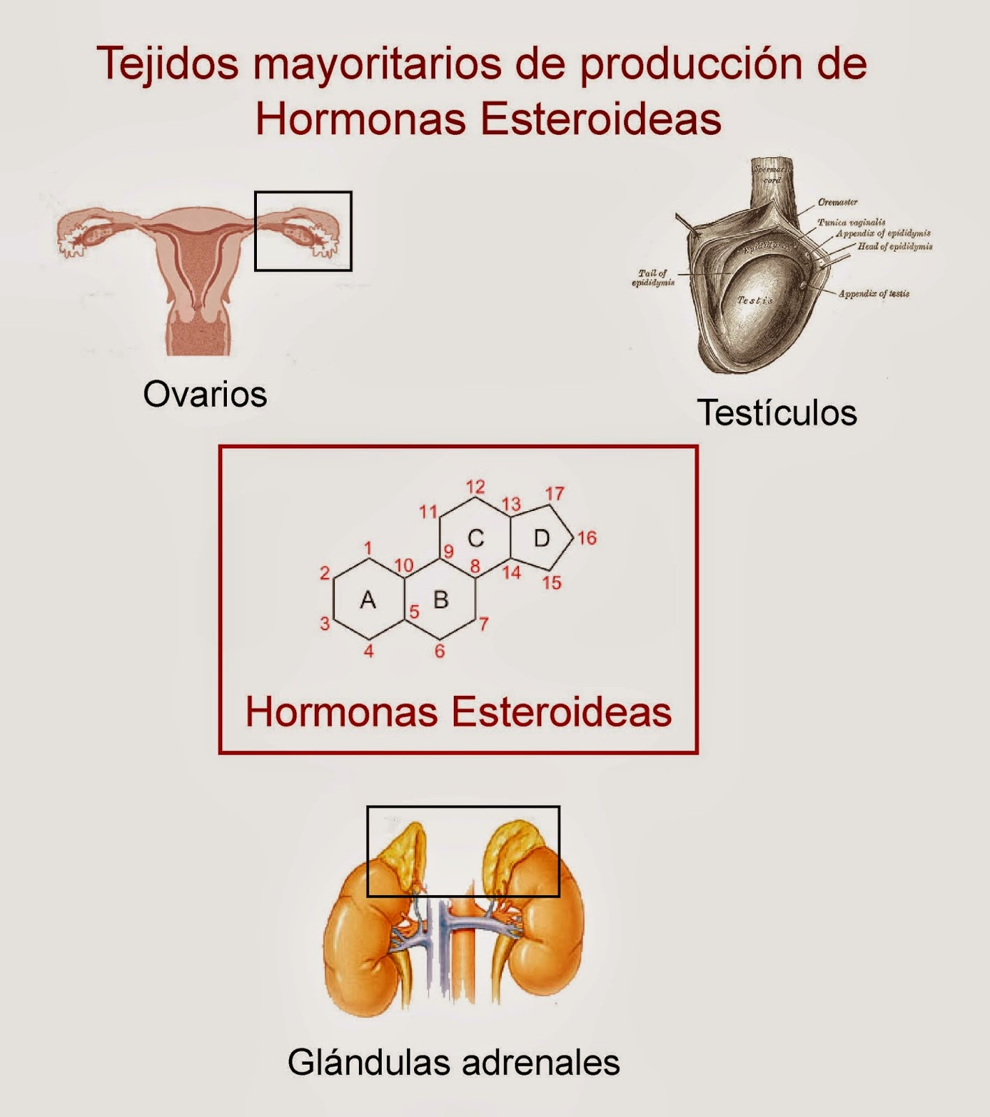 BIOLOGÍA 3º SECUNDARIA: Sistema Endocrino: Hormonas