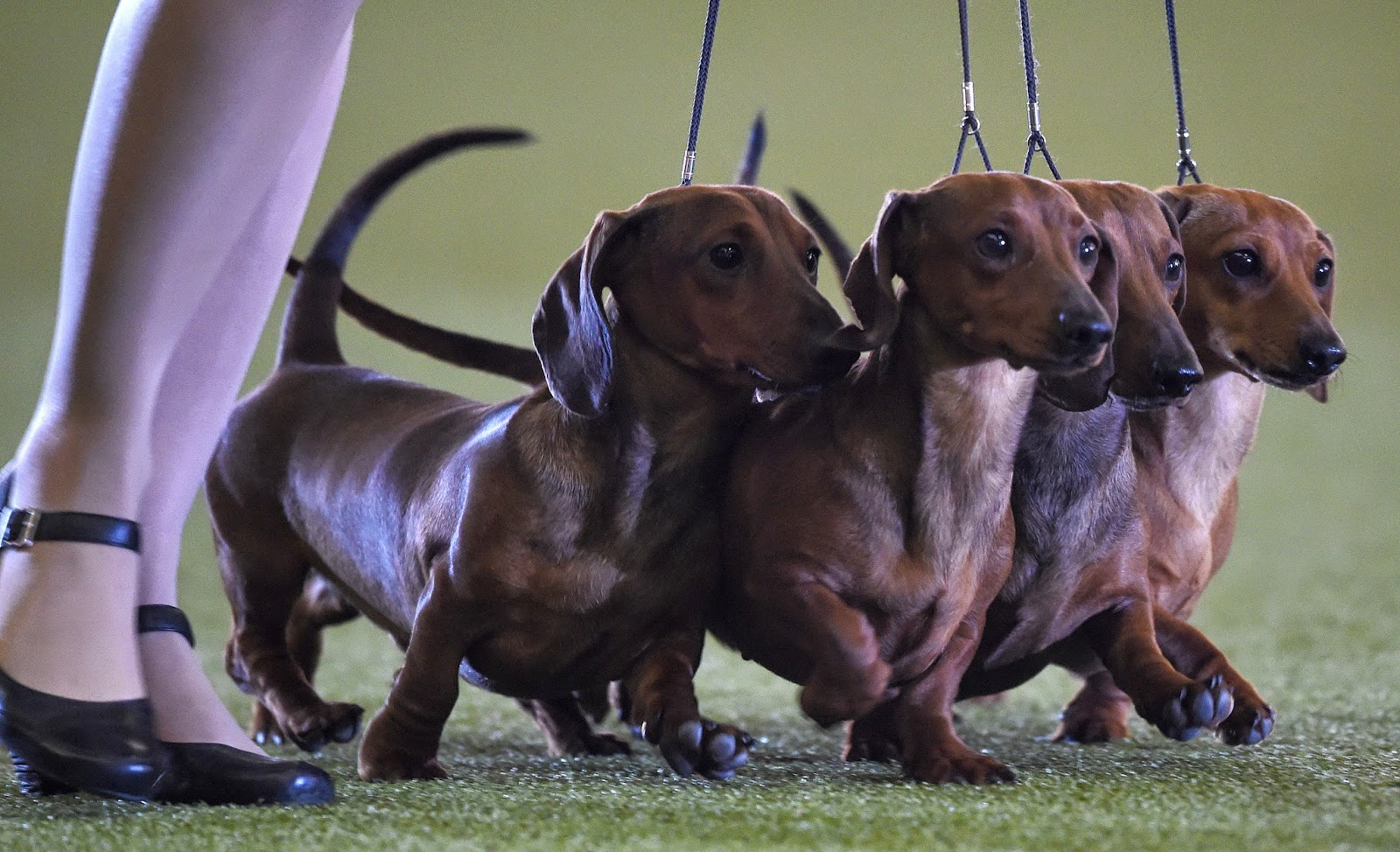 Animals, Cats, Cats Show, Collie Dogs, Dachshunds Dogs, Dogs, Dogs and Cats Show, Dogs Show, Hund & Katz, Malteses Dogs, Offbeat, Pets Fair, Sausage dogs,