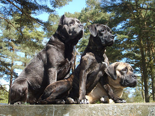 Cane Corso Wallpapers