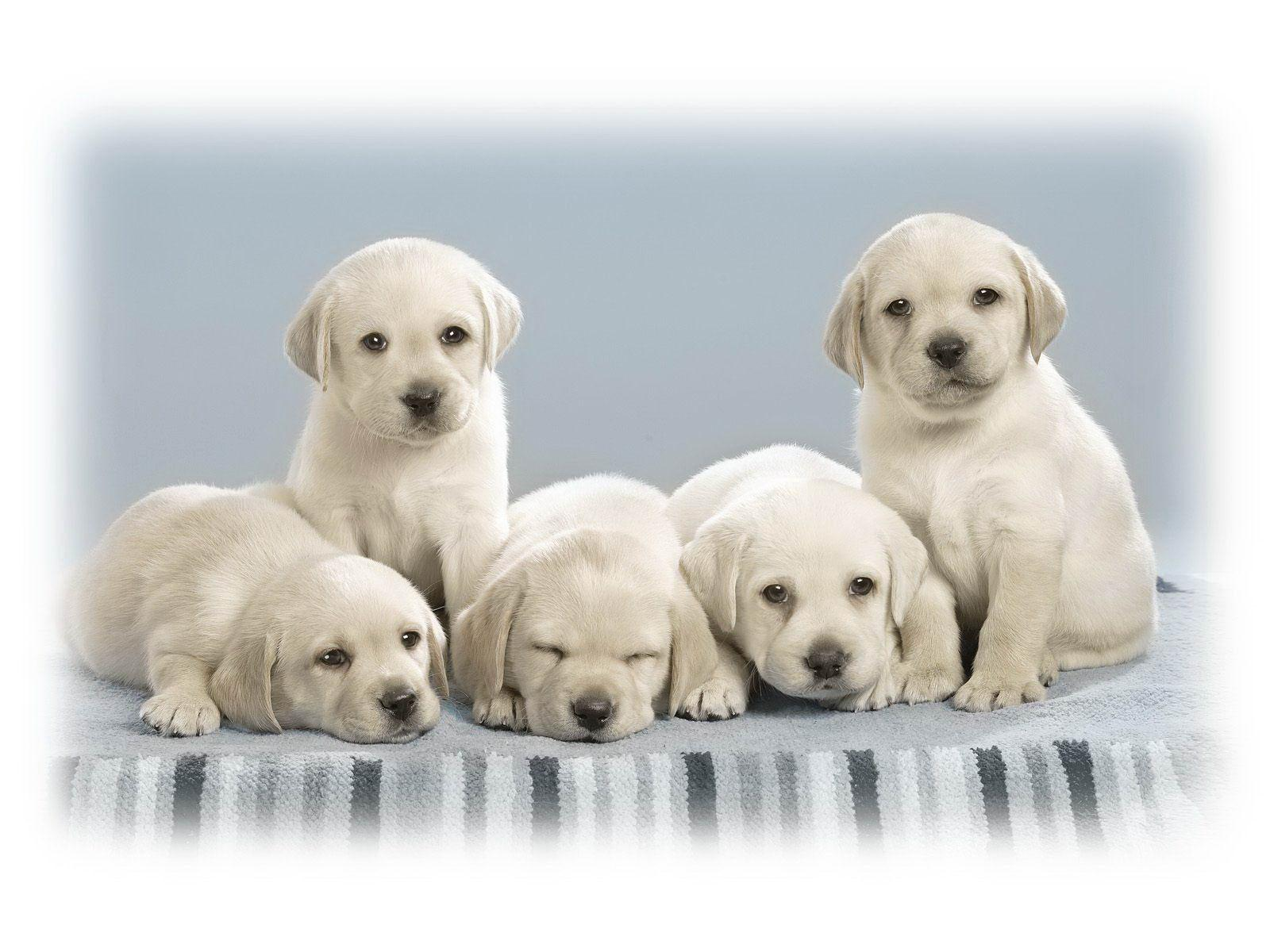 Labrador Retriever H D Wallpapers O ll y WooD !  Wallpapers,