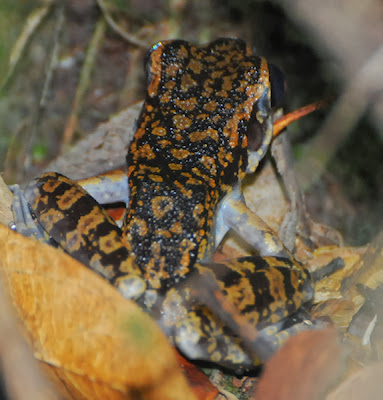 Spotted Stream Frog (Hylarana picturata)