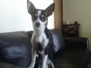 Chihuahua en Madrid