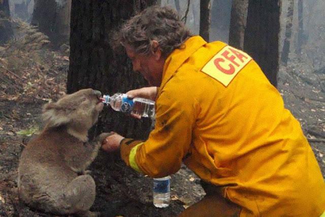 عجائب الدنيا وهل تعلم - رجل اطفاء يعطي الماء لكوالا خلال حرائق الغابات المدمرة خلال السبت الأسود في ولاية فيكتوريا، أستراليا، في عام 2009.