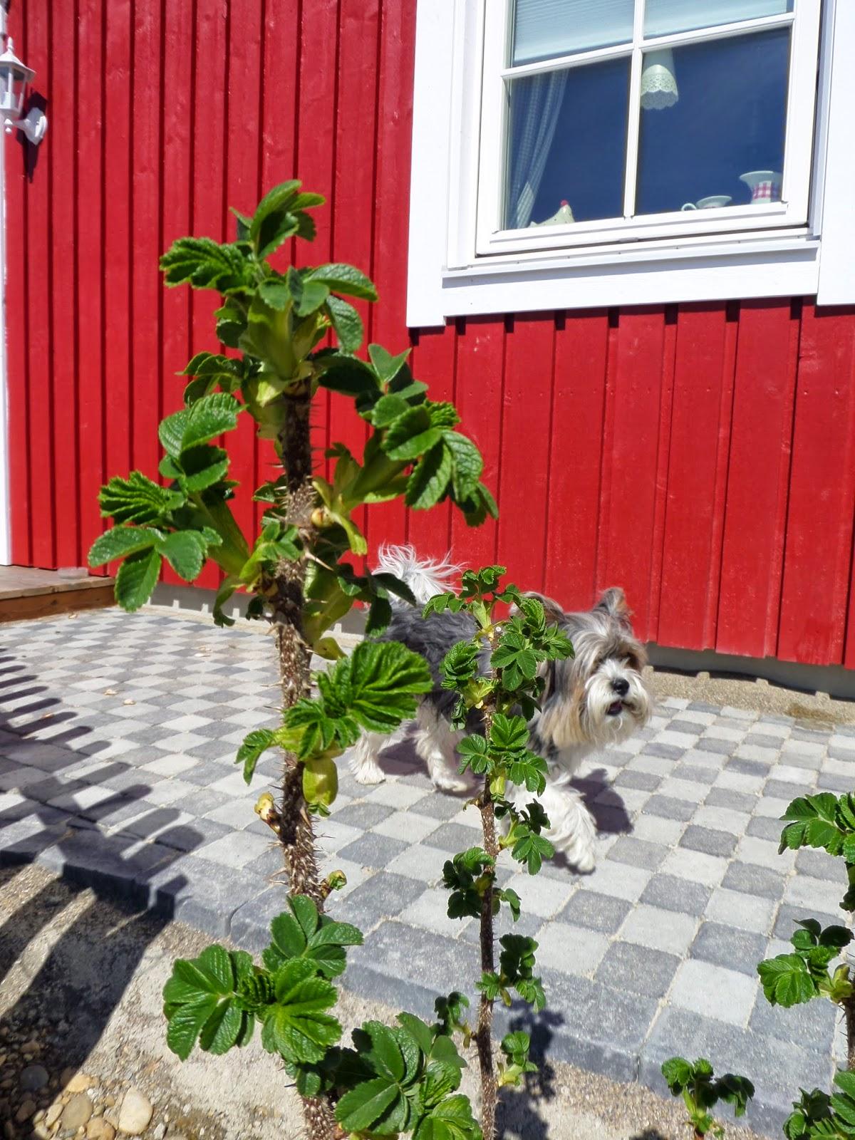 Schwedenhaus gartengestaltung  Kleine Lotta ~ Unser Schwedenhaus: Beginn der Arbeiten im Garten !!