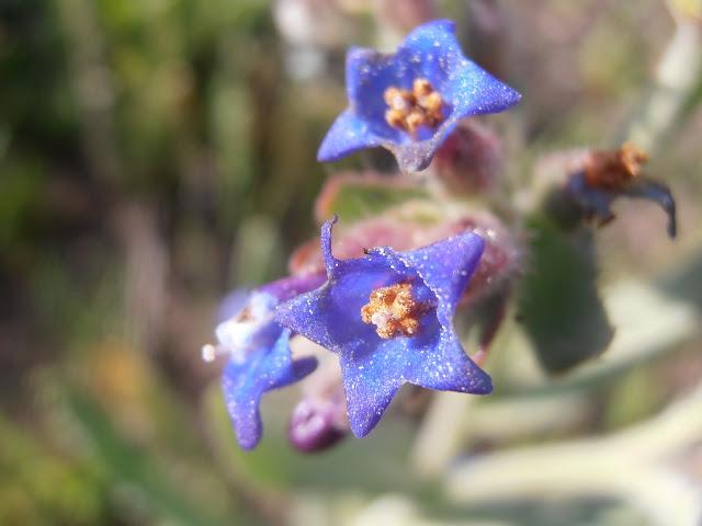 CHUPAMIELES: Anchusa undulata