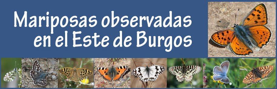 Mariposas observadas en el Este de Burgos