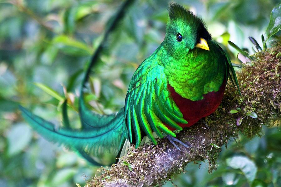 Rainforest Birds Flying Quetzal