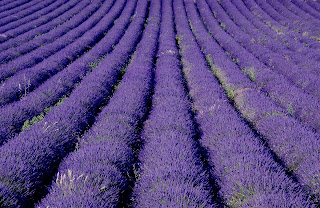 Amazing Lavender Field