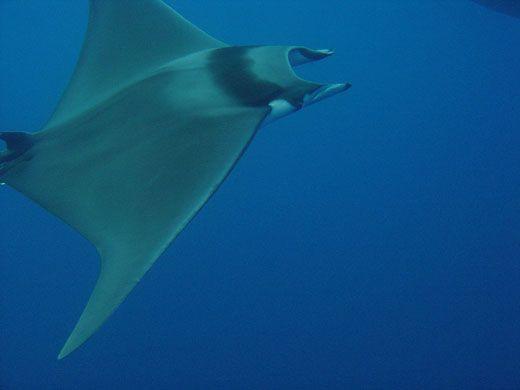 10 Spesies Hiu yang Hampir Punah di Dunia: Giant Devil Ray