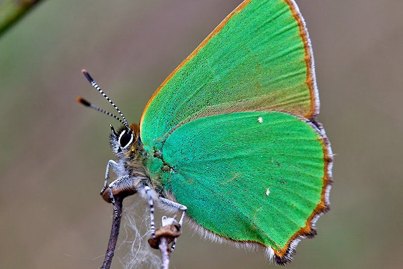 Fotos - Bilder - Tierfotos - Schmetterlinge - Grüner Zipfelfalter