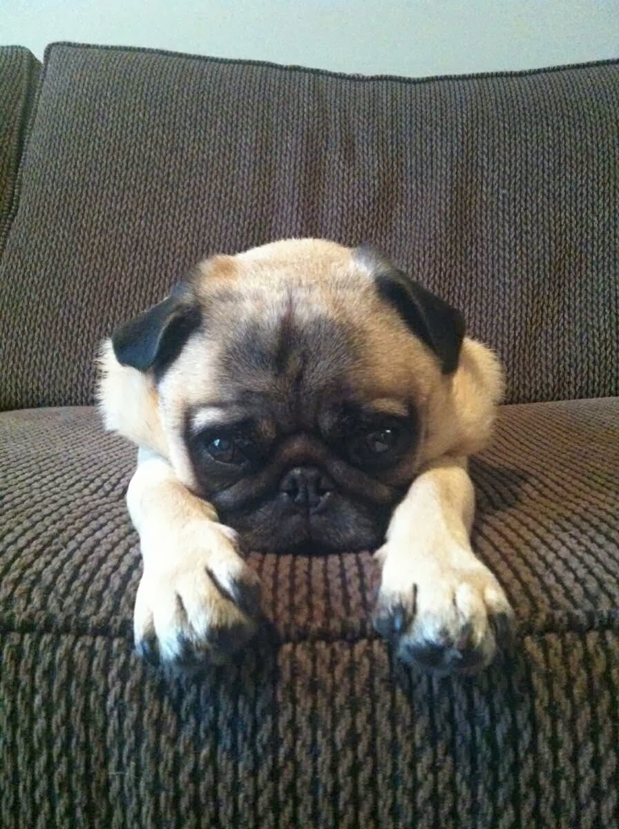 Cute dogs - part 4 (50 pics), dog pictures, pug dog relaxing on couch