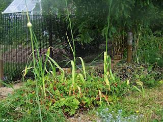 Wild strawberries growing around elephant garlic