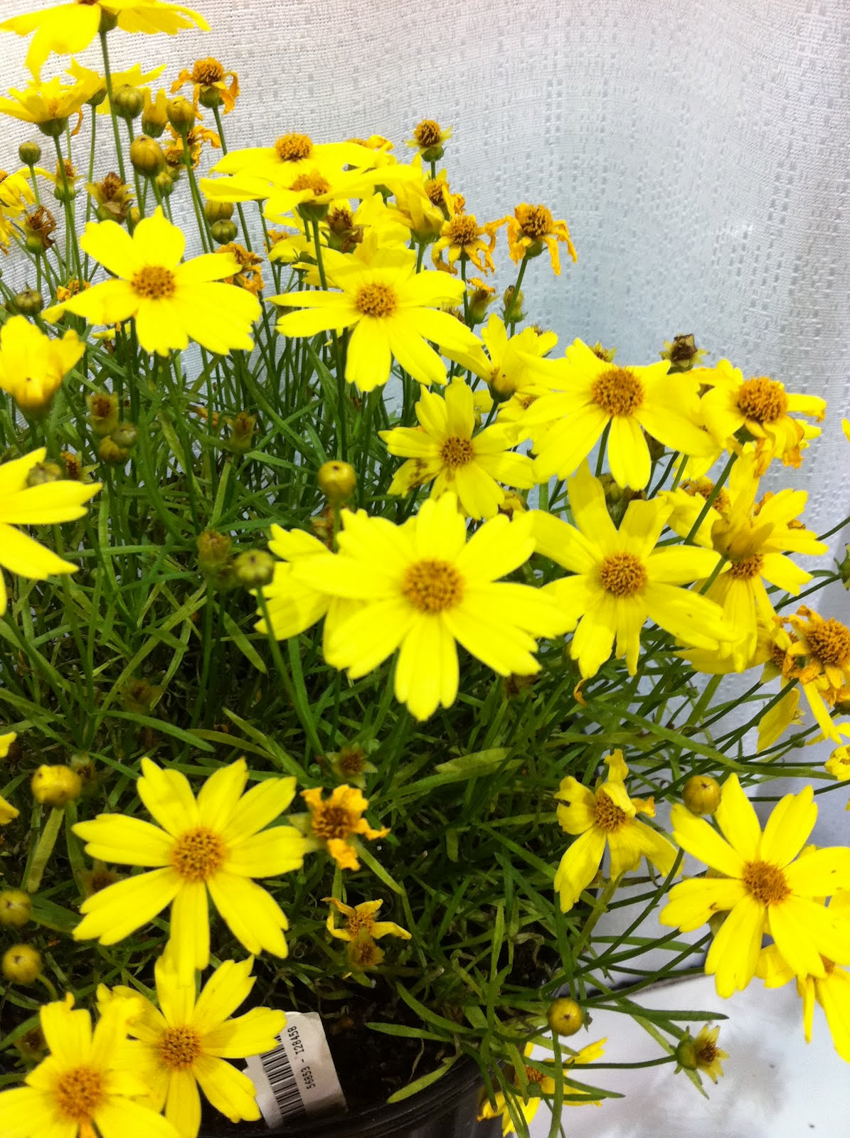 Coreopsis pictures and information coreopsis citrine mightylinksfo