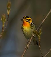 Image of a Blackburnian Warbler