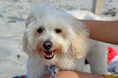 cairn terrier poodle cross