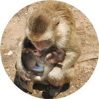 Macaco-Asiático