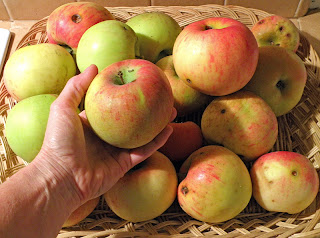 18 Apples in Basket, with Hand Holding One up for Inspection