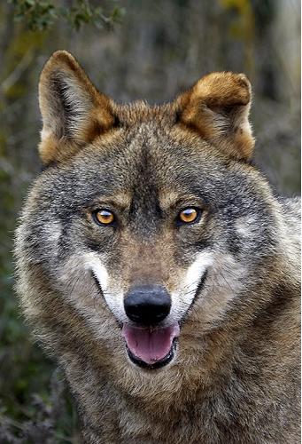 Lobo Gris Wiki Reino Animalia FANDOM powered by