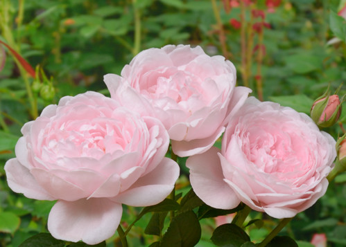 Queen of Sweden rose сорт розы фото